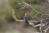 African Hoopoe 02 Reproduction photographique par Bob Langrish
