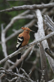 African Hoopoe 01 Reproduction photographique par Bob Langrish