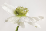 White Anemone Flower Photographic Print by Cora Niele