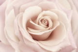 Peach Pink Rose Photographic Print by Cora Niele