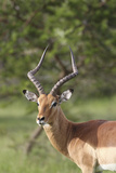 African Impala 12 Photographic Print by Bob Langrish