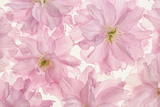 Pink Cherry Blossom Photographic Print by Cora Niele