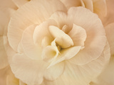 Amber Begonia Flower Fotografisk tryk af Cora Niele