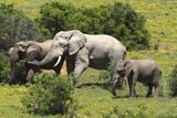 African Elephants 067 Photographic Print by Bob Langrish