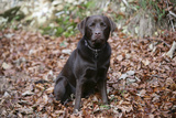 Retriever - Chocolate Labrador 003 Photographic Print by Bob Langrish