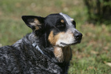Australian Heeler 24 Photographic Print by Bob Langrish