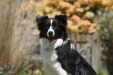 Border Collie 18 Photographic Print by Bob Langrish