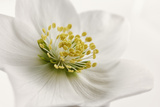 White Helleborus Photographic Print by Cora Niele