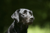 Black Labrador Retriever 22 Photographic Print by Bob Langrish