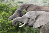 African Elephants 150 Photographic Print by Bob Langrish