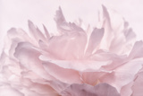Pink Peony Petals III Reproduction photographique par Cora Niele
