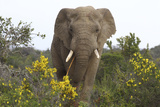 African Elephants 058 Photographic Print by Bob Langrish