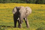 African Elephants 063 Photographic Print by Bob Langrish