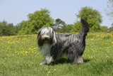 Bearded Collie 18 Photographic Print by Bob Langrish