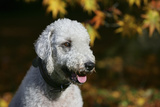 Bedlington Terrier 20 Photographic Print by Bob Langrish