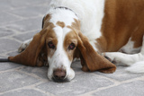 Basset Hound 03 Photographic Print by Bob Langrish