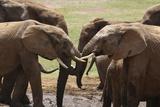 African Elephants 049 Photographic Print by Bob Langrish