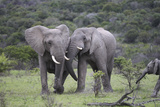 African Elephants 172 Photographic Print by Bob Langrish