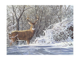 Winter Whitetail Giclee Print by Bruce Miller