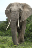 African Elephants 140 Photographic Print by Bob Langrish