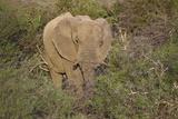 African Elephants 060 Photographic Print by Bob Langrish
