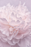Pink Peony Petals I Photographic Print by Cora Niele