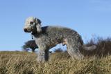 Bedlington Terrier 17 Photographic Print by Bob Langrish