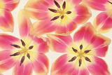 Cerise and Yellow Tulips Photographic Print by Cora Niele