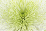 Lime Light Spider Mum Photographic Print by Cora Niele
