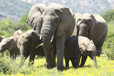 African Elephants 071 Photographic Print by Bob Langrish
