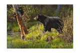 Black Bear Giclee Print by Bruce Miller