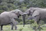 African Elephants 161 Photographic Print by Bob Langrish