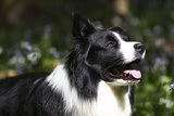 Border Collie 06 Photographic Print by Bob Langrish
