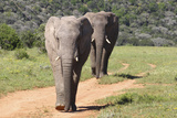 African Elephants 065 Photographic Print by Bob Langrish