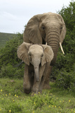 African Elephants 138 Photographic Print by Bob Langrish