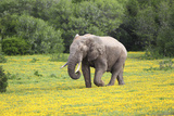 African Elephants 061 Photographic Print by Bob Langrish