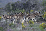 African Zebras 005 Photographic Print by Bob Langrish