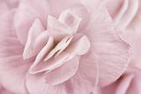 Begonia Flower Fotografisk tryk af Cora Niele