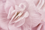 Begonia Flower Photographic Print by Cora Niele