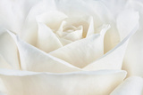 Pure White Rose Fotografie-Druck von Cora Niele