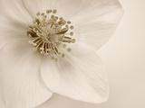 Hellebore Christmas Rose Fotografisk tryk af Cora Niele