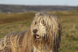 Bearded Collie 02 Photographic Print by Bob Langrish