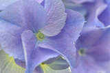 Blue Hortensia Photographic Print by Cora Niele