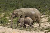 African Elephants 055 Photographic Print by Bob Langrish