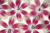 Ruby Red and White Tulips Photographic Print by Cora Niele