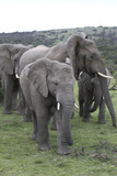 African Elephants 176 Photographic Print by Bob Langrish