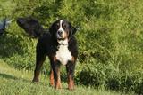 Bernese Mountain Dog 21 Photographic Print by Bob Langrish