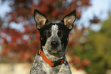 Australian Heeler 21 Photographic Print by Bob Langrish