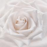 Soft White Rose Fotografie-Druck von Cora Niele