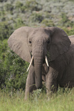 African Elephants 087 Photographic Print by Bob Langrish